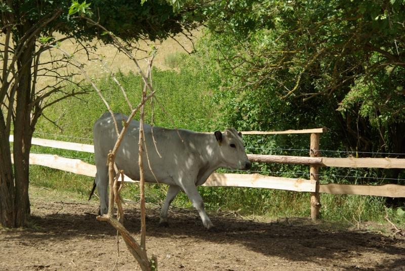 Siva-krava-Gasconne-Prechadzka